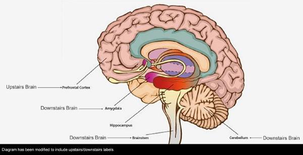 Downstairs-Upstairs Brain